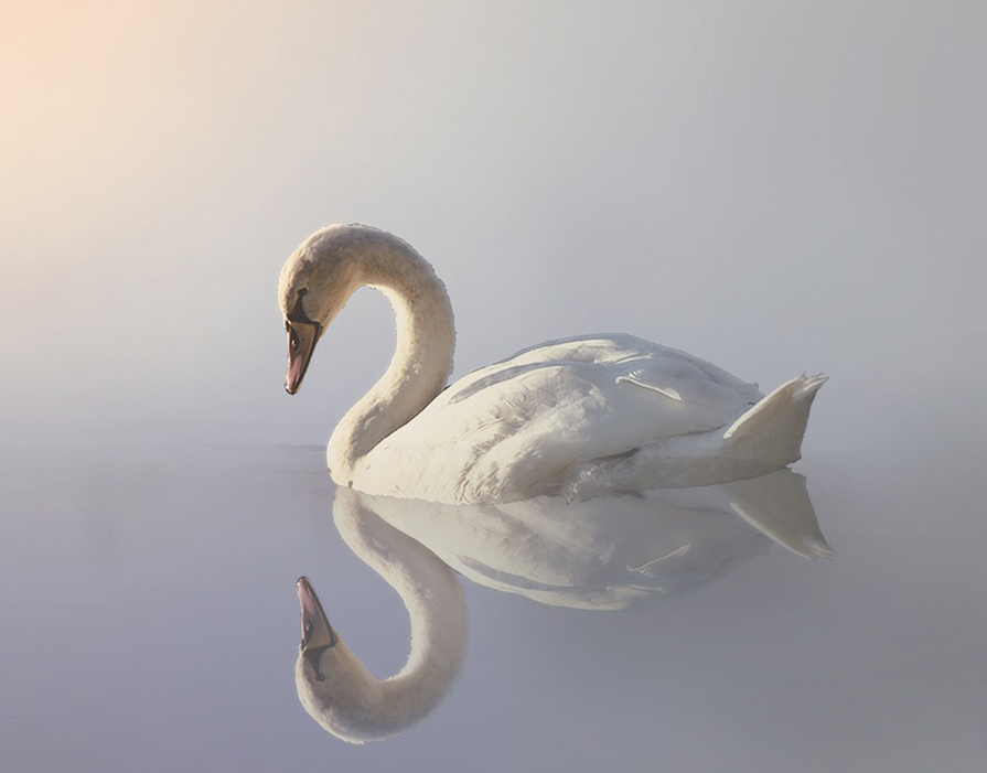 Image of swan on water with reflection