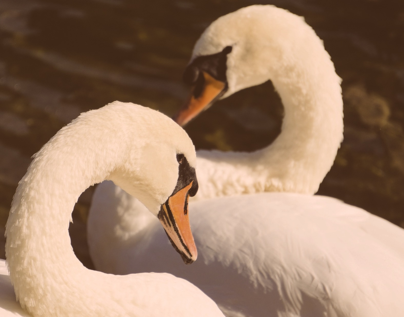 Image of two swans